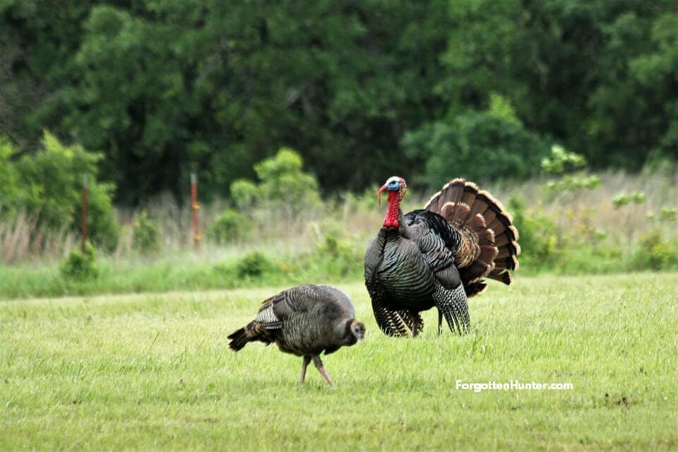 Tom Turkey and Hen in Field