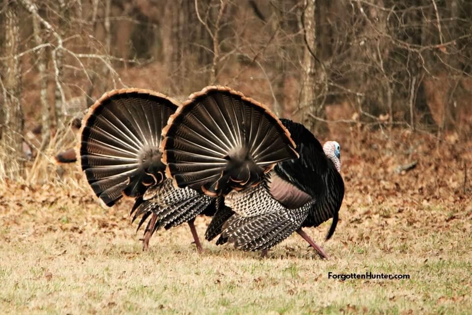 the Wild Turkey Dance